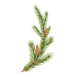 watercolor green spruce branch with cones vector image