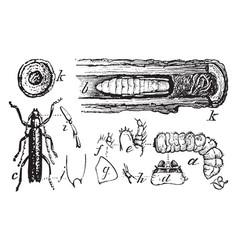 Long horned beetle vintage vector