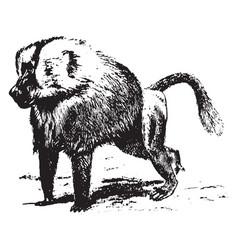 Baboon vintage vector