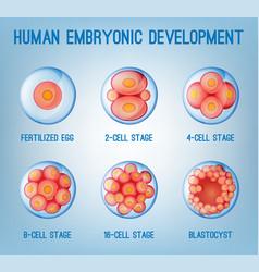 embryo development image vector image