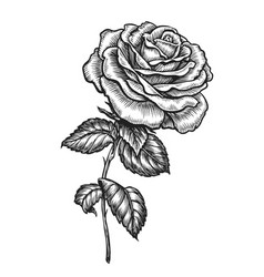 rose with leaves hand drawn flower in sketched vector image