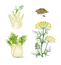 fennel flowering plant perennial herb with yellow vector image