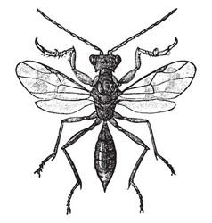 Embolimus wasp vintage vector