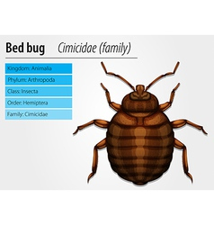 Cimicidae- Bedbug vector image