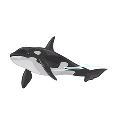 Killer whale or orca is toothed animal with black vector