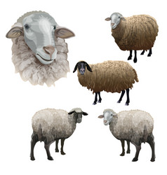 Set farm sheeps vector