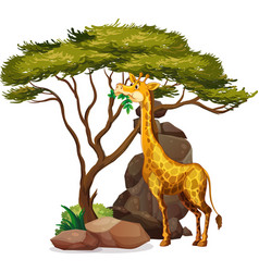 Isolated picture giraffe eating leaves vector