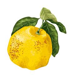 citrus fruit grapefruit or juicy pamelo in vector image