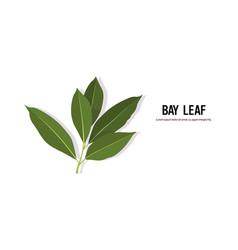 Realistic bay leaf twig tasty fresh herb green vector