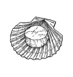 scallop ink sketch vector image