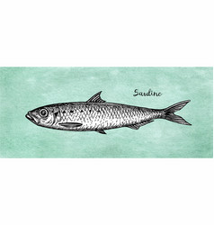 ink sketch of pilchard vector image