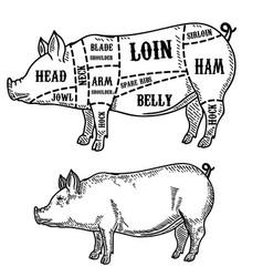 Pig butcher diagram pork cuts design element for vector