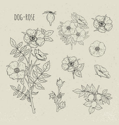 Dog rose medical botanical isolated vector