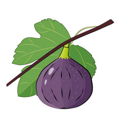 fig branch with leafe summer tropical fruits vector image