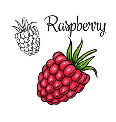 raspberry drawing icon vector image