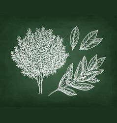 chalk sketch of bay laurel vector image