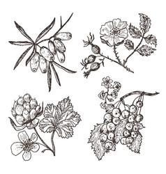 set berries sea buckthorn red currants vector image