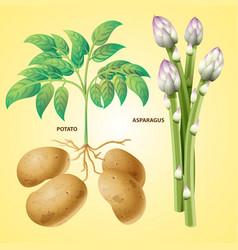 Vegetables potato asparagus vector