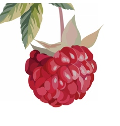 Watercolor Raspberry isolated vector image