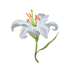 realistic vivid white lily on white vector image vector image