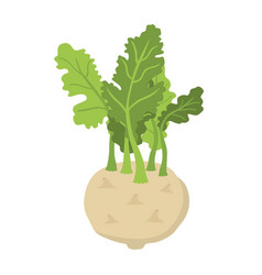 Green kohlrabi fresh organic vegetable vector