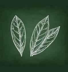 Chalk sketch of bay laurel vector