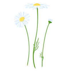 Chamomile flower isolated vector