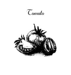 hand drawn vintage isolated tomato vector image