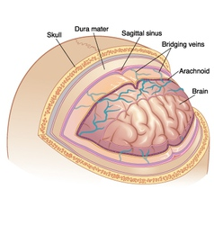 Human Brain Layers vector