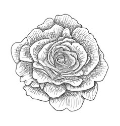with rose vector image
