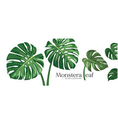 monstera leaf realistic design collections vector image