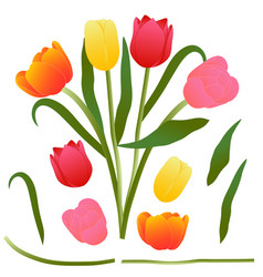 Colorful bouquet tulip isolated on vector