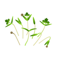 Microgreens cilantro bunch of plants white vector