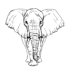 Sketch pen african elephant front view vector