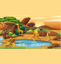 scene with giraffes drinking water vector image