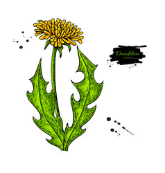 Dandelion flower drawing set isolated wild vector