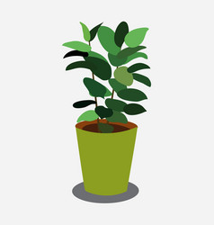 ficus plant in pistachio pot isolated on white vector image