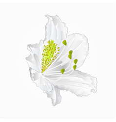 blossoms white rhododendron nine mountain shrub vector image