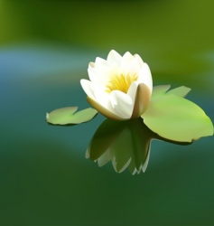 White water lily vector