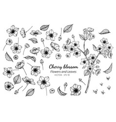 collection set of cherry blossom flower and vector image