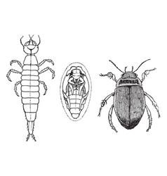Water beetle stages vintage vector