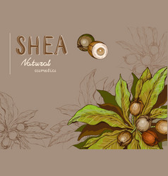 background with shea nuts and branch vector image