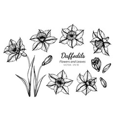 collection set of daffodils flower and leaves vector image