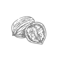 Common walnut whole and half with kernel isolated vector