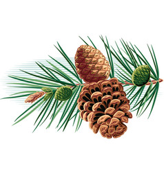 Pine branch with pine cones vector