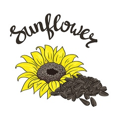 hand drawn yellow sunflower and sunflower seeds vector image