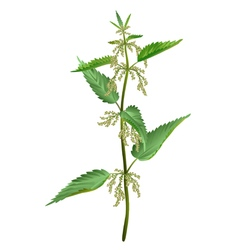 Nettle isolated vector image