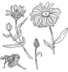 Primula primrose flowers buds leaves vector