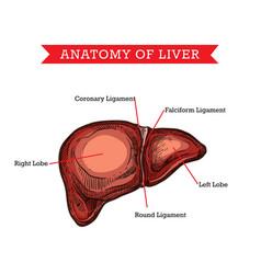 Human liver anatomy medicine aid scheme vector