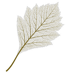 image of skeleton aspen leaf vector image